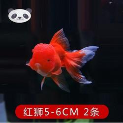 广东中山好养耐活冷水观赏红狮子头宠物淡水大中小型鱼苗招财蝶尾