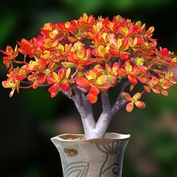 姬红花月 红色小叶玉树老桩10-15cm多肉花植物组合盆栽超萌包邮