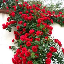 四季蔷薇花苗攀援爬藤植物庭院浓香型玫瑰藤本月季花卉特大花盆栽