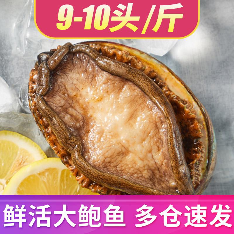 鲍鱼鲜活10头大个贝司令新鲜海捕超大连江海鲜水产特大活体鲍鱼