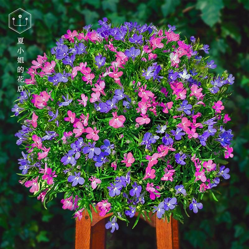 夏夏花店*泛美*进口六倍利半边莲满天星翠蝶花种子四季种室内易活