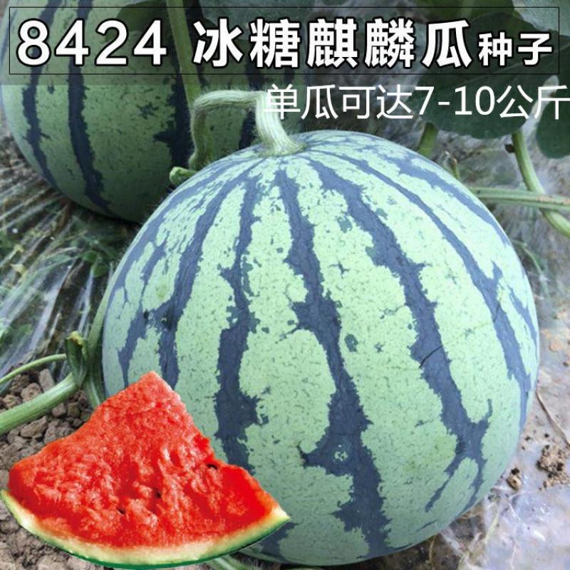 8424早熟西瓜种子高产特大麒麟王巨型懒汉巨龙水果春季蔬菜种籽孑