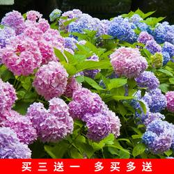 八仙花绣球盆栽庭院阳台耐寒植物花卉盆栽无尽夏绣球花苗四季开花