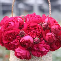 【九语】红色龙沙宝石藤本月季花苗庭院爬藤阳台花卉蔷薇四季开花