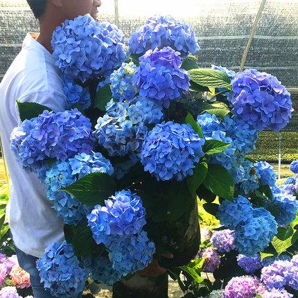 八仙花盆栽庭院阳台耐寒植物花卉盆栽无尽夏绣球花苗四季开花