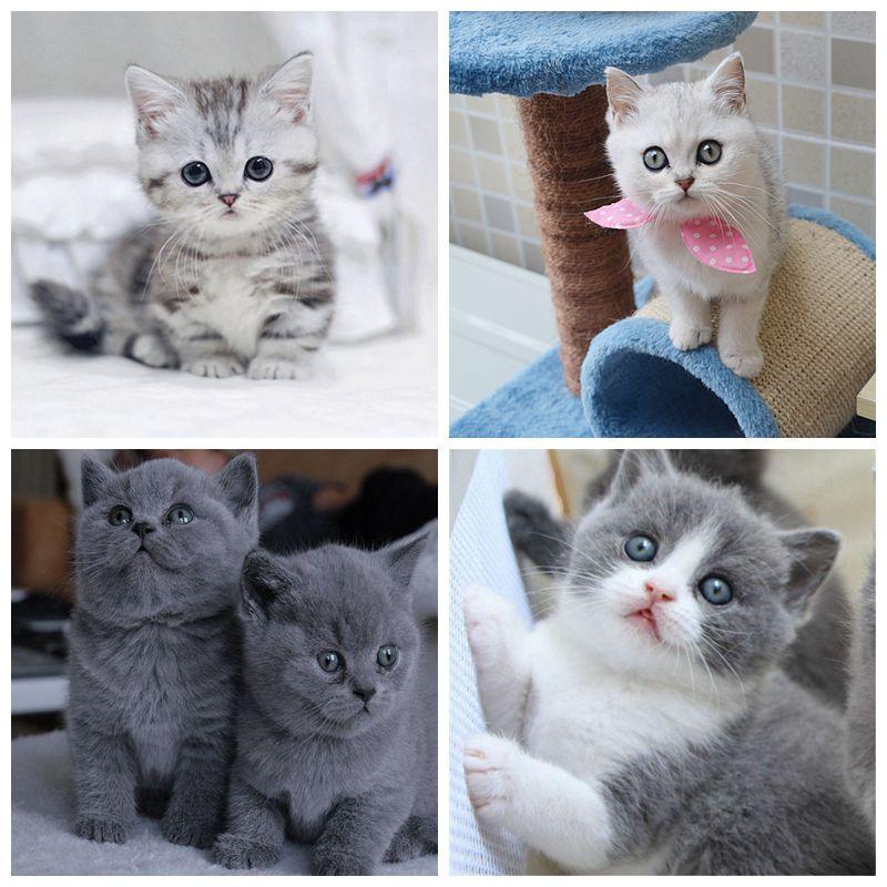 折耳美短英ブルー猫の赤ちゃんブルーシャム銀漸層カナダのペット猫の生きている赤ちゃん猫の生き物