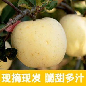 黄金奶油富士苹果牛奶脆甜水果新鲜当季整箱烟台直发