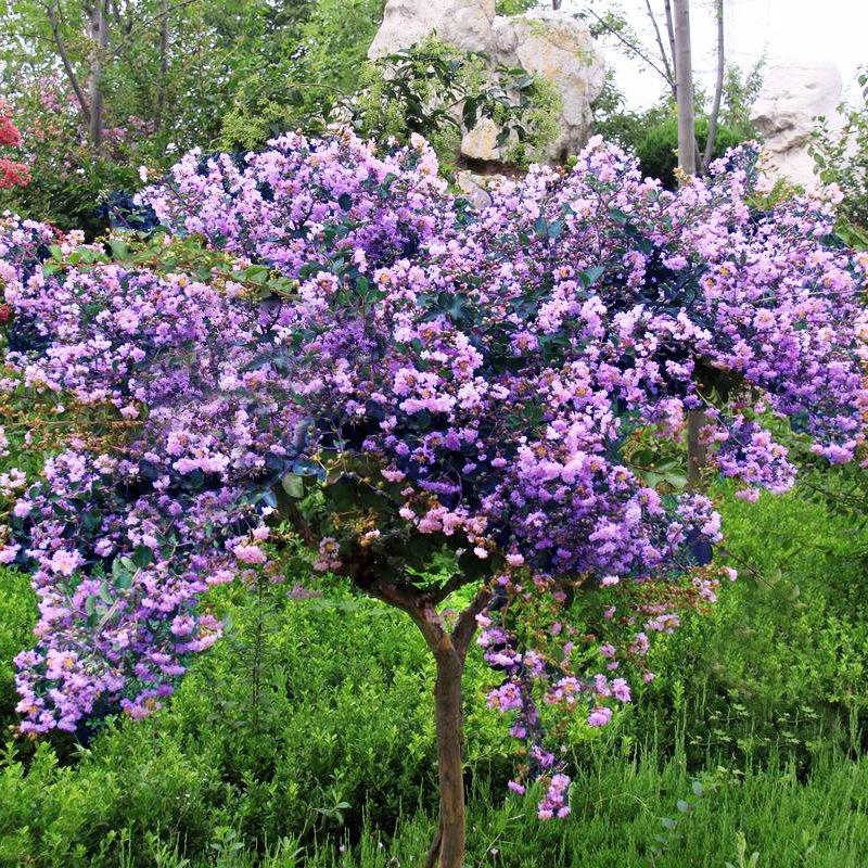 家庭の美化の濃い香の植物の紫のライラックの花の苗木の室内の外のベランダのビルの屋上の花園の鉢植えの花の香りは10里漂っています。