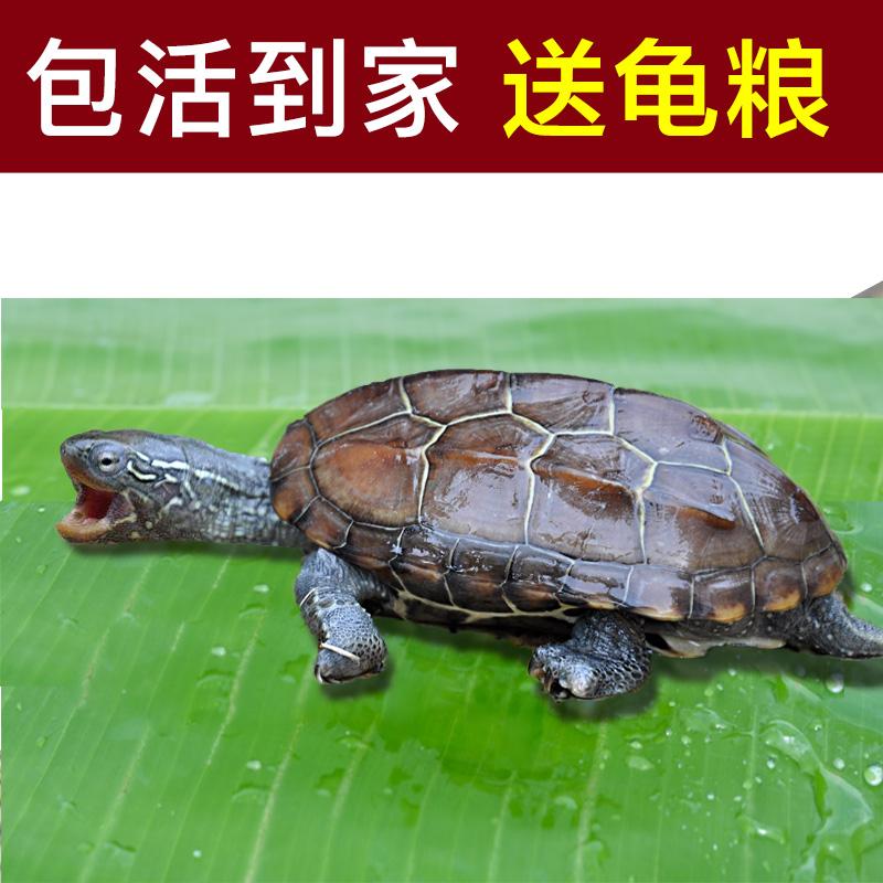 中华草龟小乌龟活体外塘长寿龟宠物水龟金线龟活物放生白玉草龟苗图片