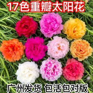 重瓣太阳花苗宿根混色植物绿植花卉盆栽四季开花带根带花苞发货