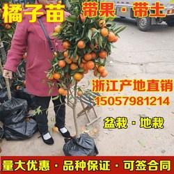 橘子苗橘子树苗柑橘盆地栽无籽砂糖蜜橘橙子苗沃柑金桔南北方种植