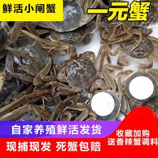 包邮 蟹河蟹螃蟹大闸蟹香辣蟹六月黄 全母100只鲜活满黄小闸蟹1一元