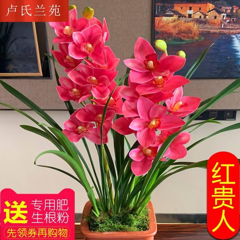 兰花【红贵人】浓香型盆栽四季好养建兰花卉绿植兰草兰花苗