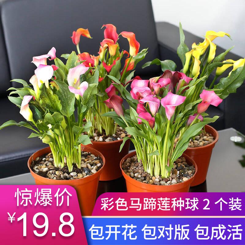 Цветочные луковицы Артикул 613633619661