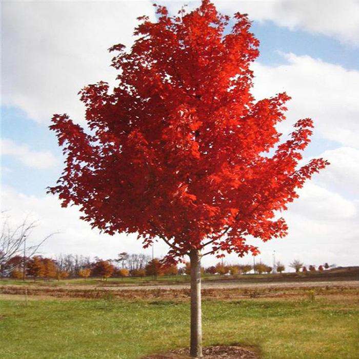 美国红枫树苗园林绿化苗美国红枫苗红枫小苗秋火焰红枫苗庭院植物