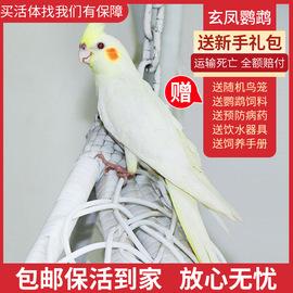 玄凤鹦鹉活鸟活物大型鸟笼会说话的彩色小鸟粮活体牡丹鸟宠物幼鸟图片