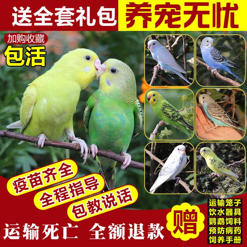虎皮鹦鹉活鸟中小型会说话的宠物鸟活物手养玄凤幼鸟小鸟活体鸟笼