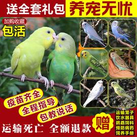 虎皮鹦鹉活鸟中小型会说话的宠物鸟活物手养玄凤幼鸟小鸟活体鸟笼图片