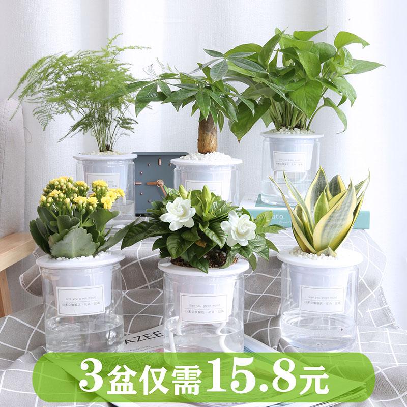 发财树绿萝盆栽室内好养办公桌面小绿植花卉吊兰文竹水培多肉植物