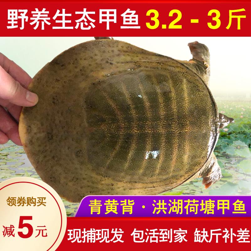 3.2-3斤甲鱼活鲜活食用放养甲鱼生态活体王八外塘水鱼顺丰包邮