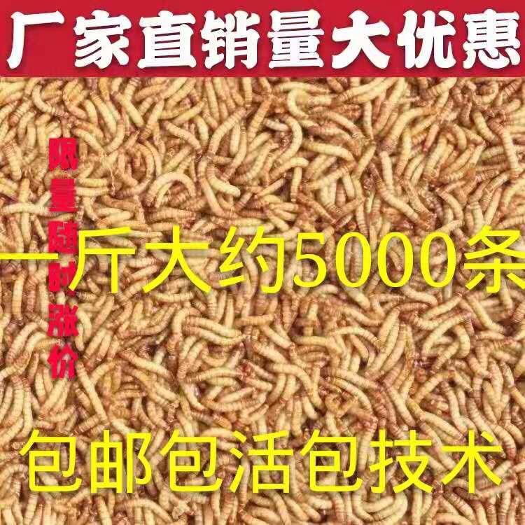 黄粉虫面包虫活的食喂蝎子画眉鹦鹉龙鱼八哥仓鼠小鸟鸡-鸡饲料(蕴橙汇家居专营店仅售9.38元)