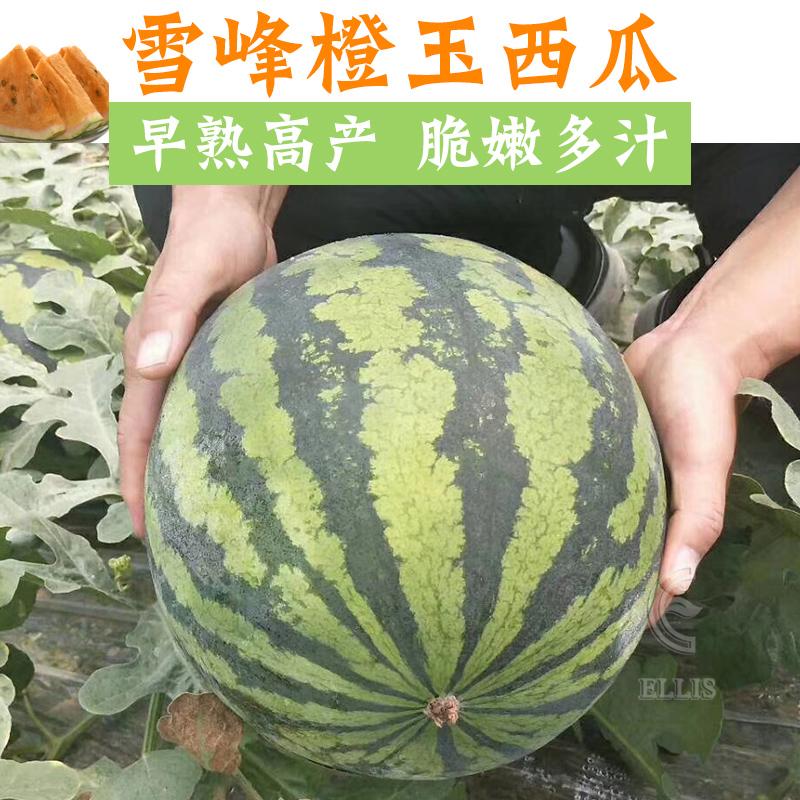雪峰橙玉西瓜种子特大超甜懒汉橙肉西瓜种籽四季春秋南方水果种孑
