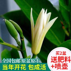 白兰花盆栽花卉室内四季老桩花树苗