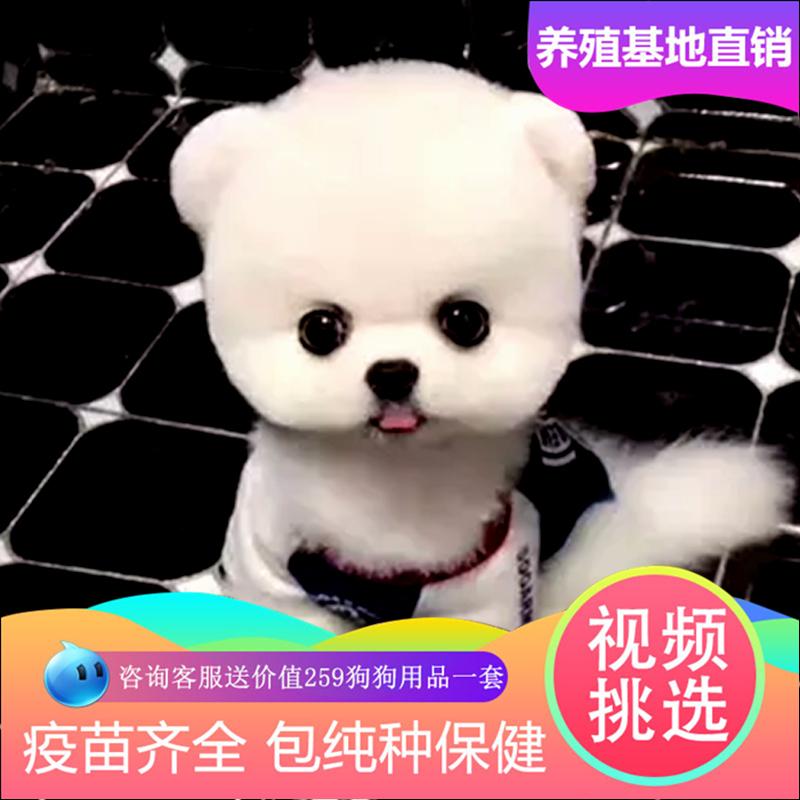 可爱白色纯种博美球形幼犬长不大袖珍茶杯犬俊介活体家庭宠物狗
