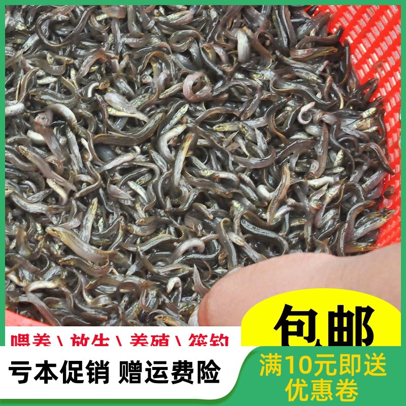 Live feeding of loach fry, release of fishing dragonfish, live bait, turtle feed, loach culture, freshwater ornamental fish
