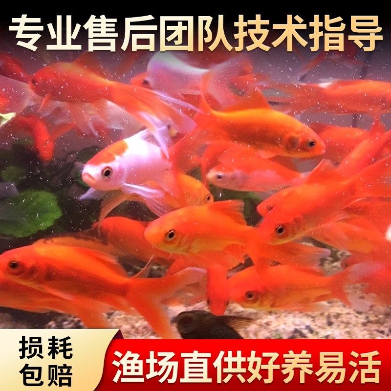 One jin of Koi fry, one jin of tricolor Koi fry, Longfeng Koi fry, Koi fry, Koi fry, 1 jin