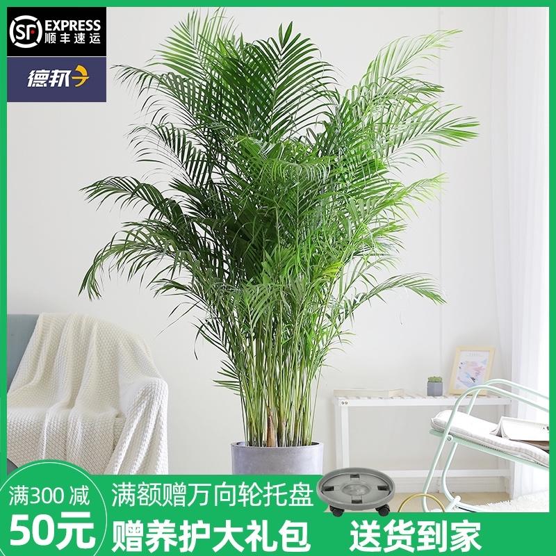 芳然散尾葵盆栽大型北欧绿植室内客厅办公室吸甲醛网红植物凤尾竹126元