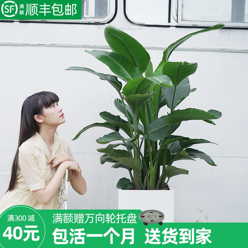 Fangran Paradise Bird plant large indoor potted plant Hewanglan office hall green plant paradise bird living room potted plant