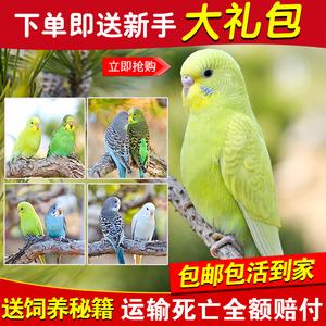 鹦鹉活鸟活物中小型鸟笼会说话鹦鹉活体幼鸟成年手养宠物虎皮鹦鹉