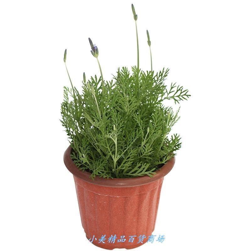 Lavender potted plant true flower big seedling bract fresh