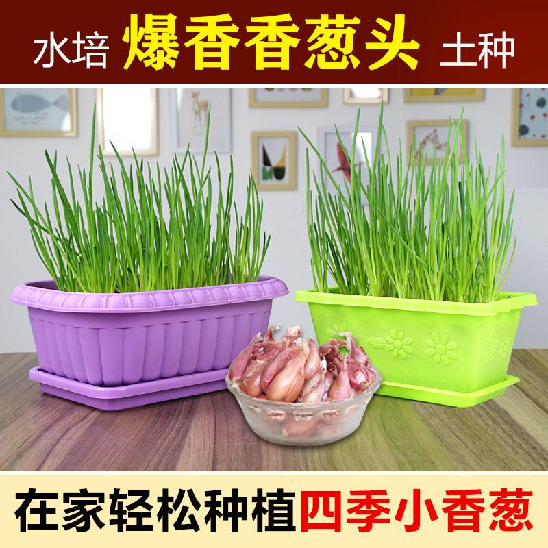 智热卖水培香葱种头四季小葱种籽家庭阳台种菜盆栽蔬菜苗葱种子葱