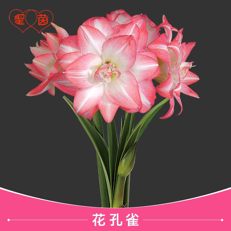 Цветочные луковицы Артикул 613014114075