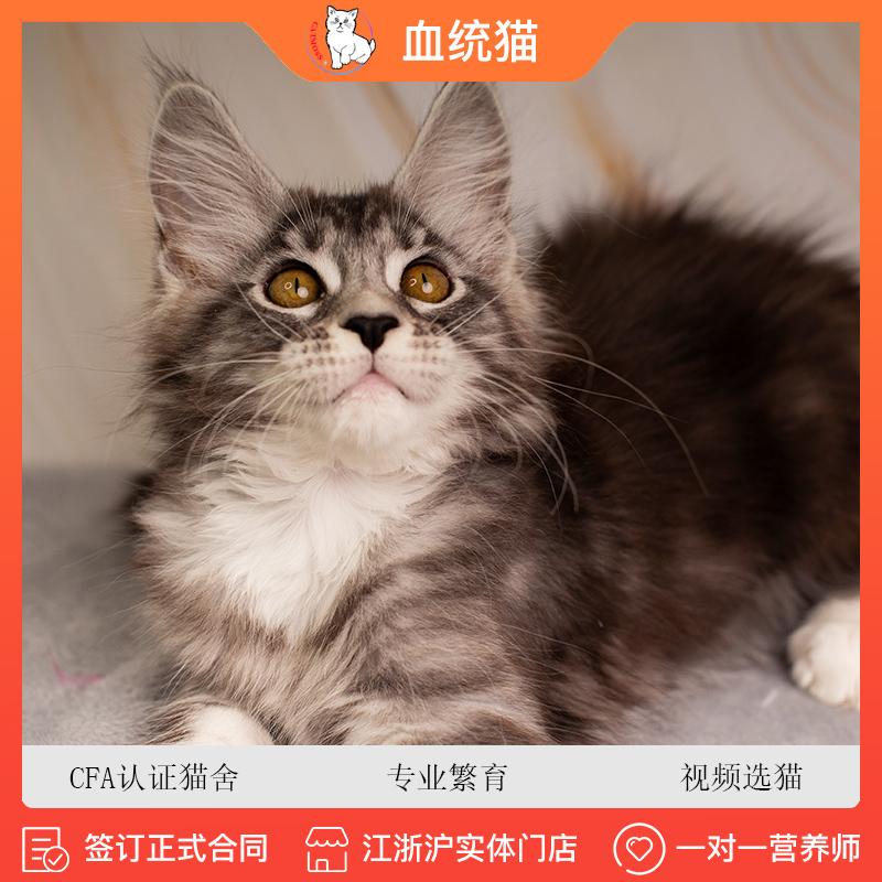 缅因猫纯种银虎斑缅因猫库恩缅因猫幼崽幼猫长毛猫巨型猫图片