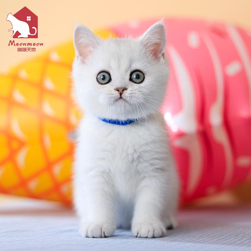 英短银渐层猫咪美短渐层英短猫咪活物宠物猫欧朵可到店英国短毛猫