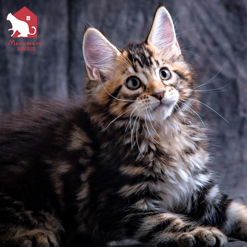 缅因猫纯种巨型幼猫纯黑色宠物大型猫咪活物活体幼崽狮子猫活幼体图片