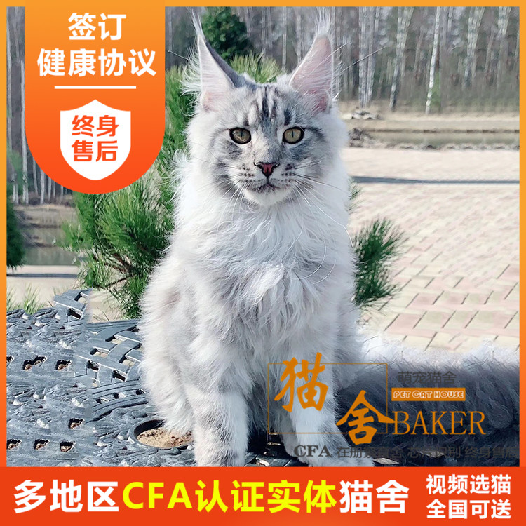 Maine live purebred giant Kuhn Burmese long haired kitten Silver Tiger spotted Norwegian Forest Cat
