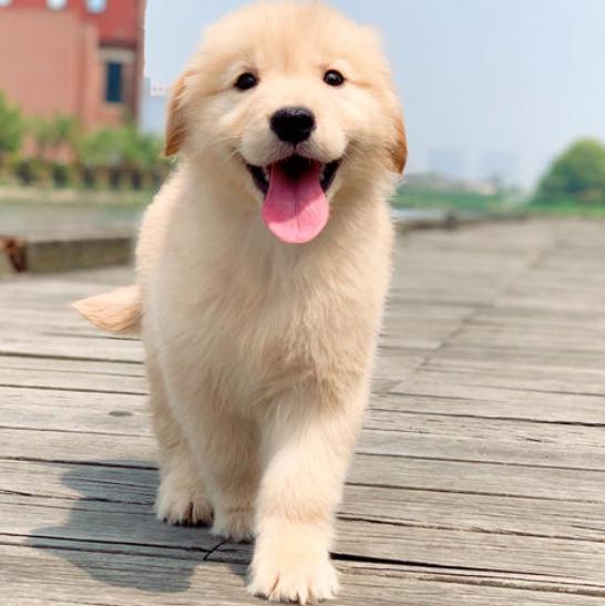 纯种金毛幼犬活体大骨架金毛犬巡回导盲犬拉布拉多幼犬家养宠物狗图片