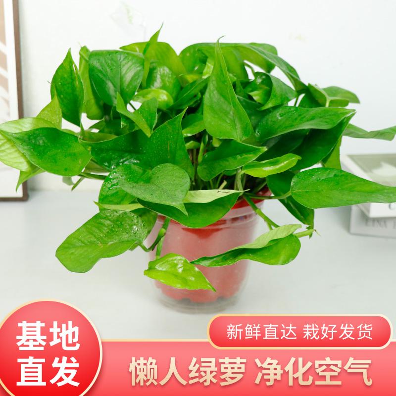 绿航绿萝盆栽室内长藤垂吊大型水养绿植花卉吸甲醛净化空气绿箩