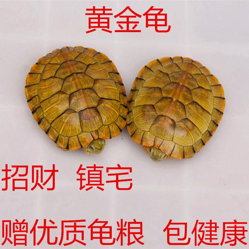 一对小乌龟活体小宠特大迷你招财情侣龟宠物龟活物长寿龟观赏龟