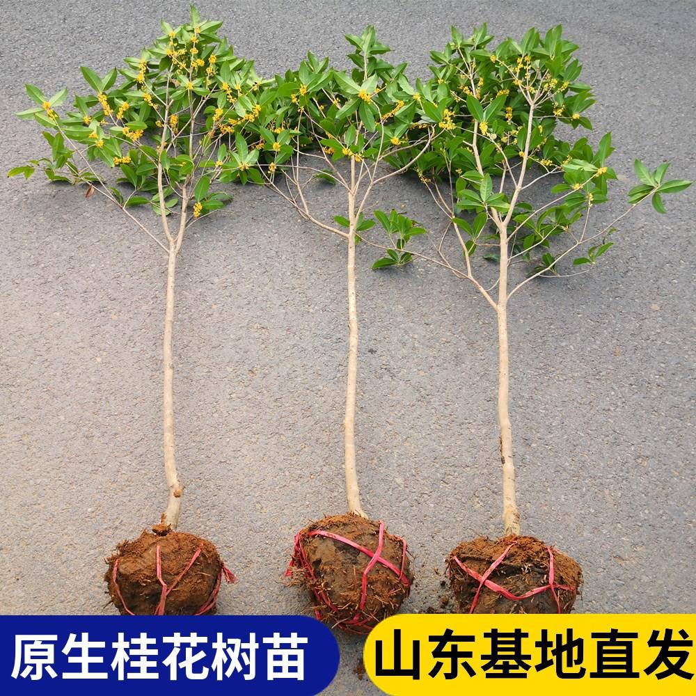 地栽大型四季桂花树苗庭院浓香原生实生桂花金桂丹高杆卉天香台阁