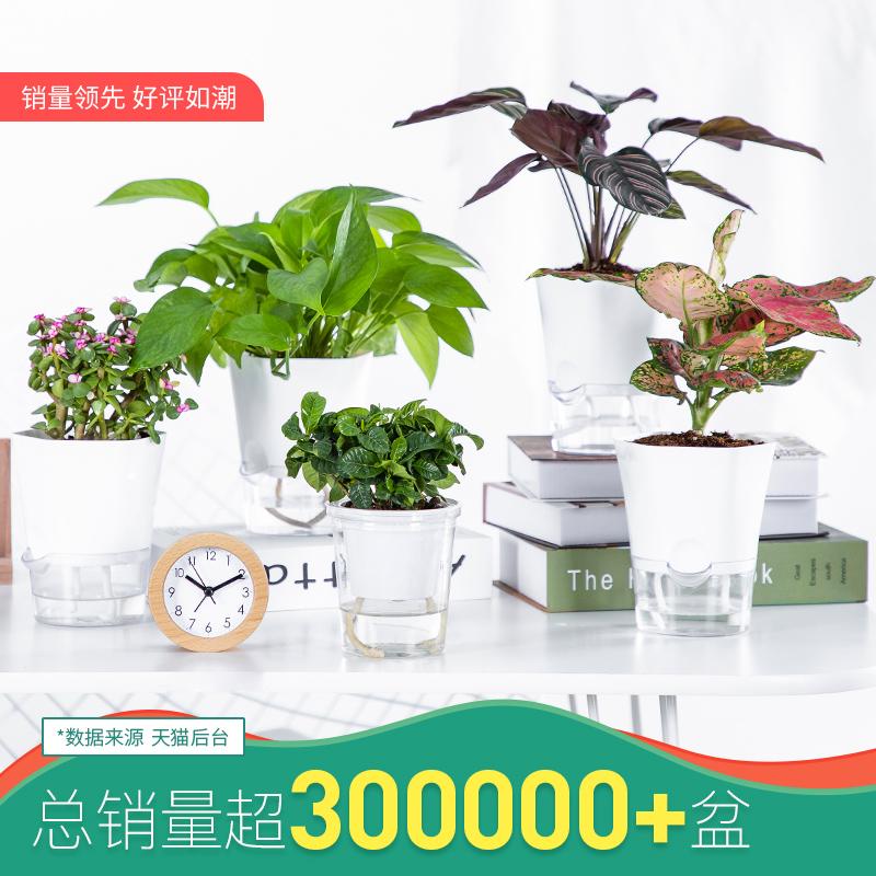 绿植室内盆栽花卉办公室水培植物绿萝发财树好养富贵竹多肉虎皮兰