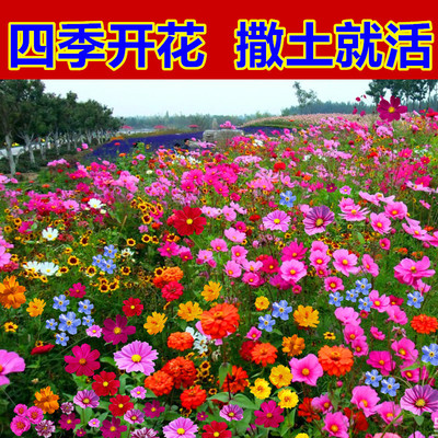 野花组合花种子室外易活花籽七彩格桑花四季开花卉重瓣太阳花种孑