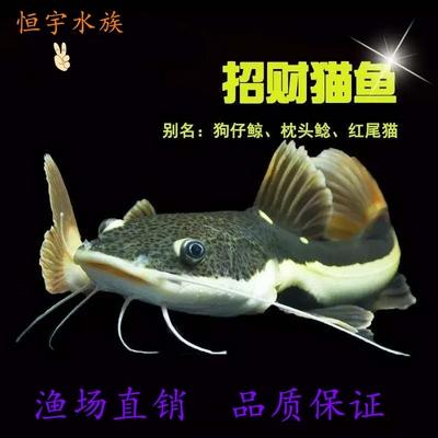 诚森招财猫鱼中大型热带观赏鱼底层鱼凶猛鱼狗仔鲸红尾猫鲶鱼