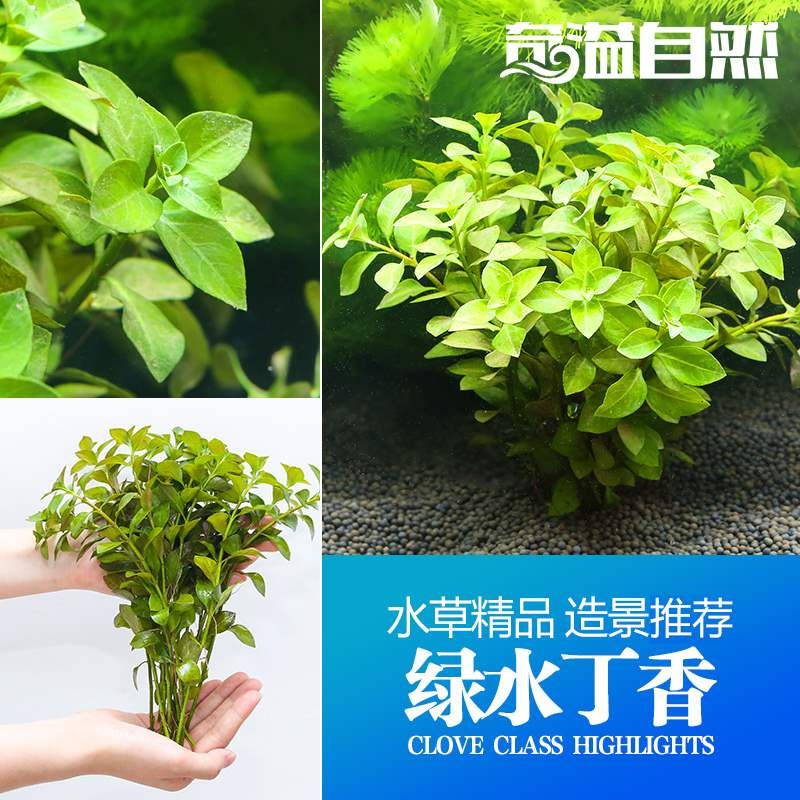 Aquarium green water clove 10 / group water middle and back view grass fish tank landscape water grass