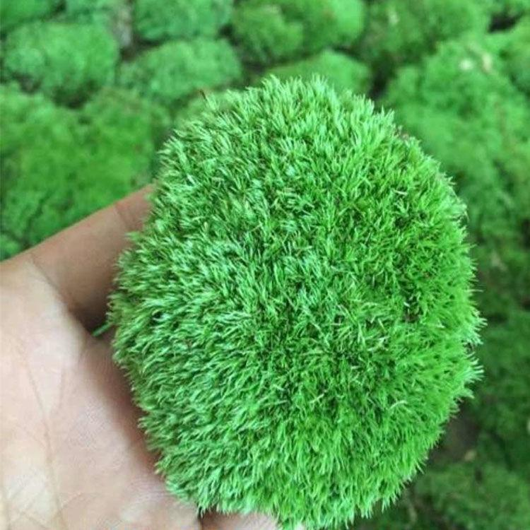 盆景假山吸水材料diy水陆藓石白发苔藓植物青苔铺面微缸鲜活景观