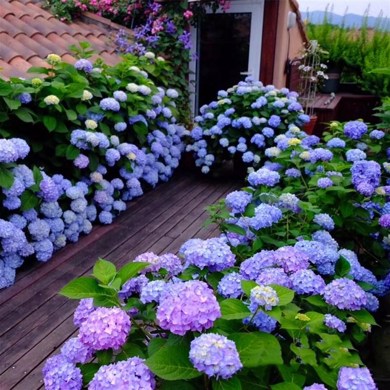 y木本の花卉の鉢植えの花苗はその年のあじさいが尽きないです。夏のベランダの棚に花が咲いています。